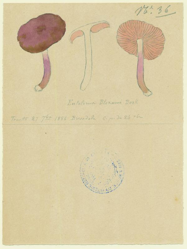 Entolome de Bloxam ; champignon