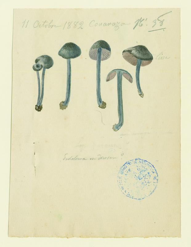 Entolome ; champignon