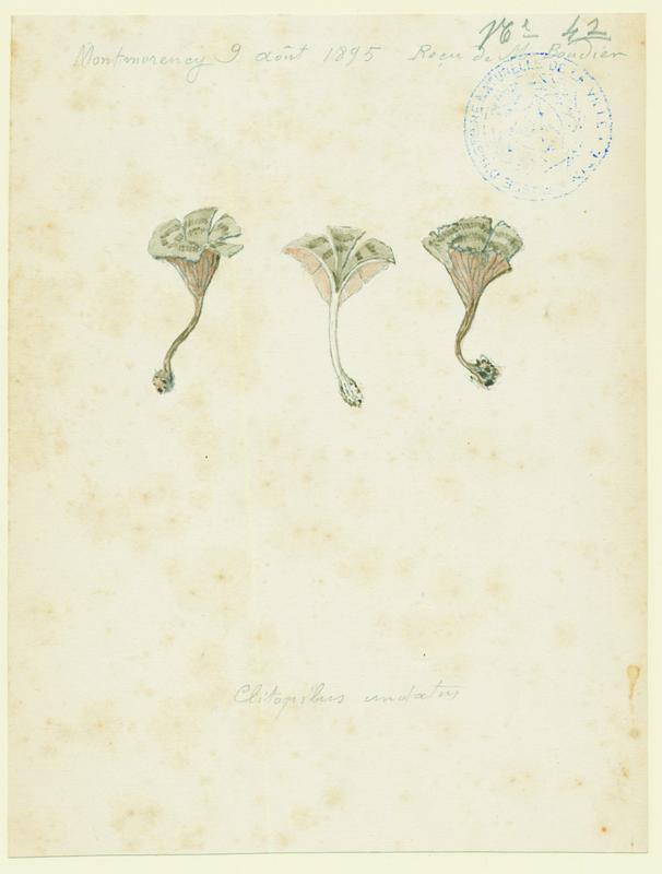 Entolome ondoyeux ; champignon_0