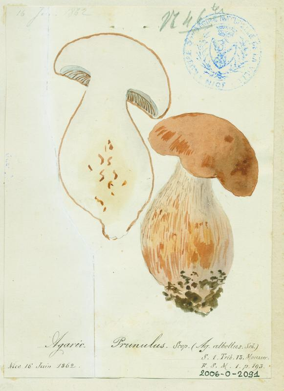 BARLA Jean-Baptiste (attribué à) : Clitopile petite prune, Meunier, champignon
