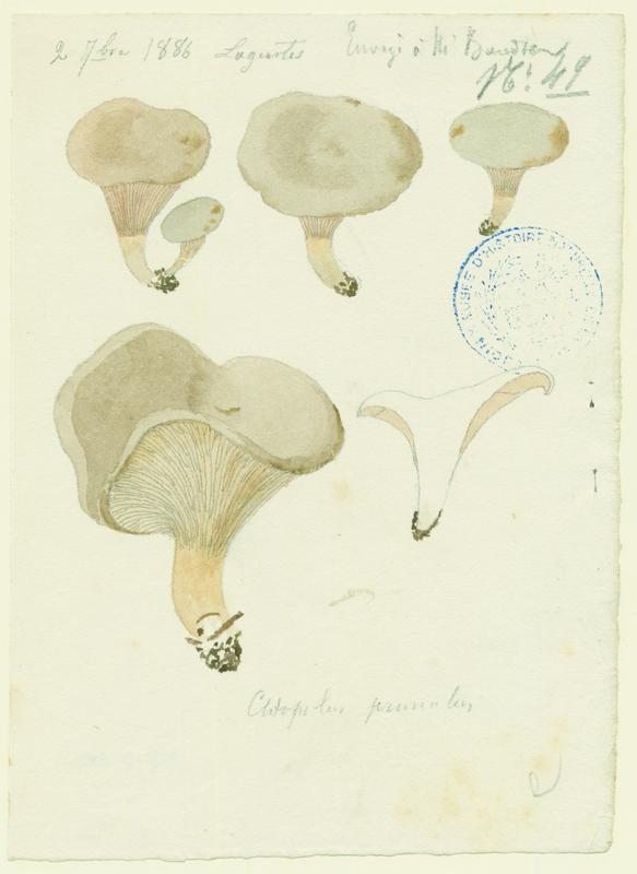 Clitopile petite prune ; Meunier ; champignon