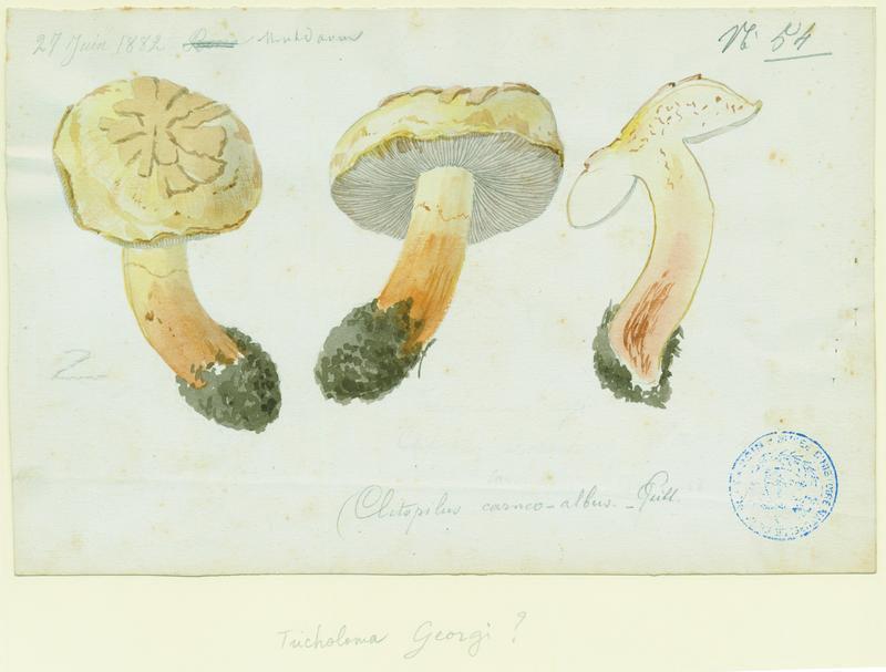 Clitopile ; champignon_0