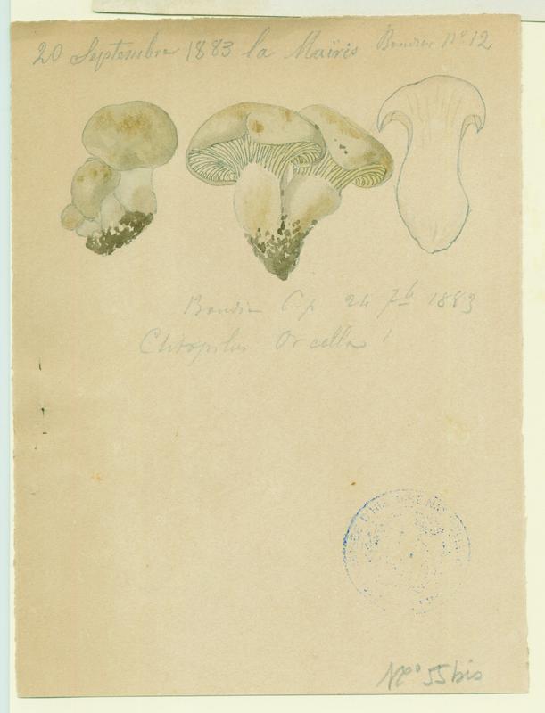 Clitopile petite prune ; Meunier ; champignon_0