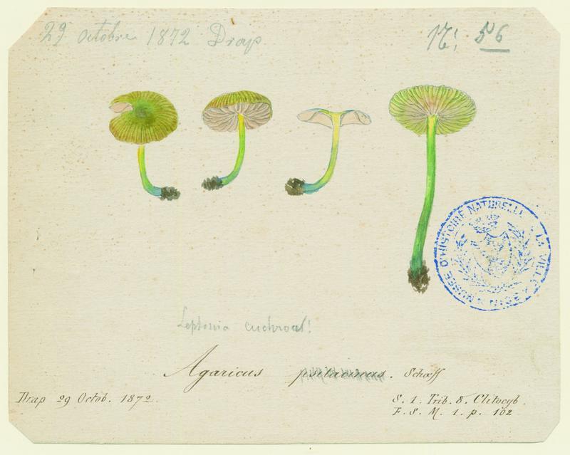 BARLA Jean-Baptiste (attribué à) : Hygrophore perroquet, champignon