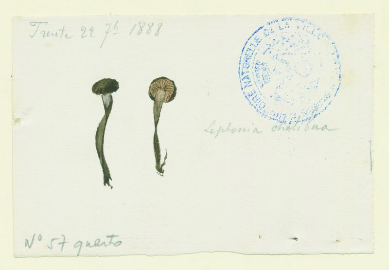 Entolome ; champignon_0