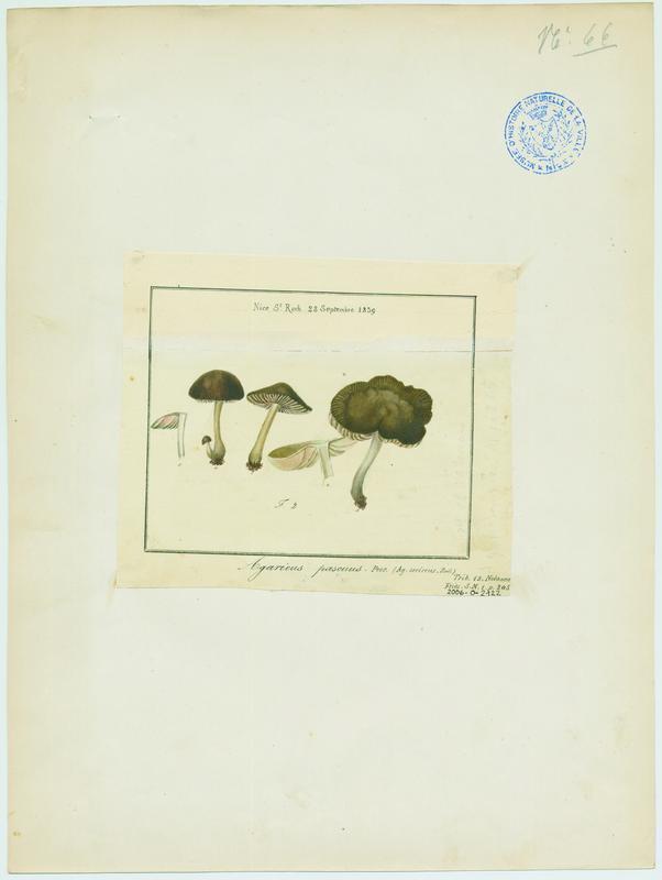 BARLA Jean-Baptiste (attribué à) : Entolome, champignon