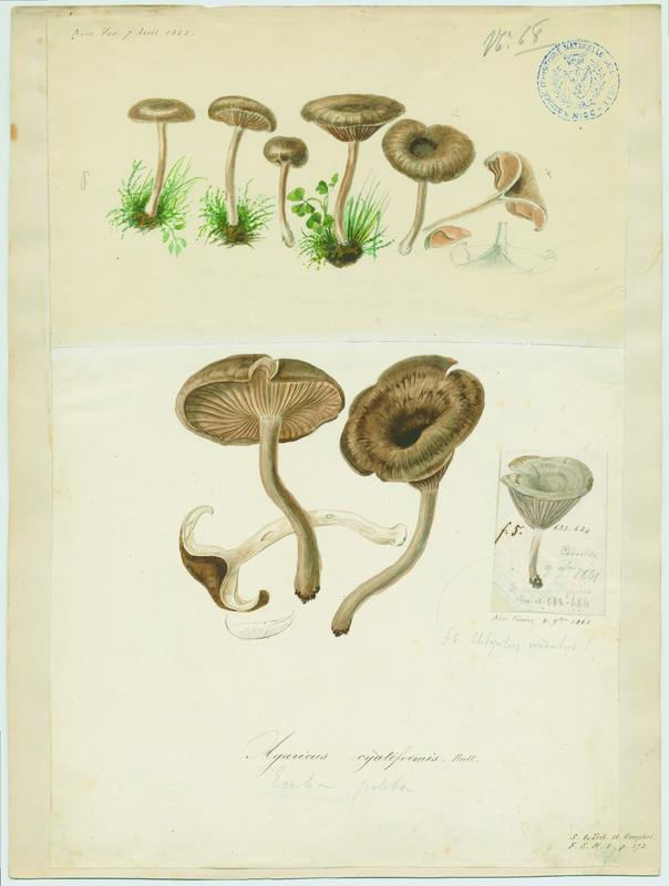 BARLA Jean-Baptiste (attribué à) : Clitocybe en coupe, champignon