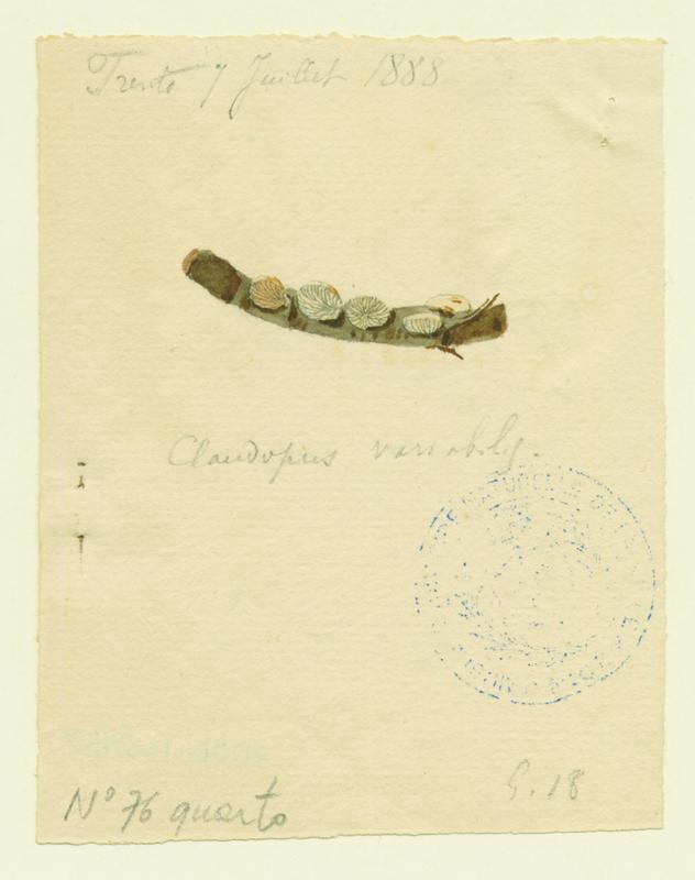 BARLA Jean-Baptiste (attribué à) : Crépidote variable, champignon