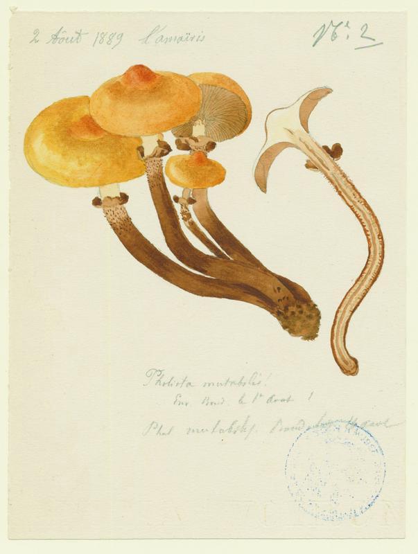 Pholiote changeante ; Agaric a soupe ; champignon_0