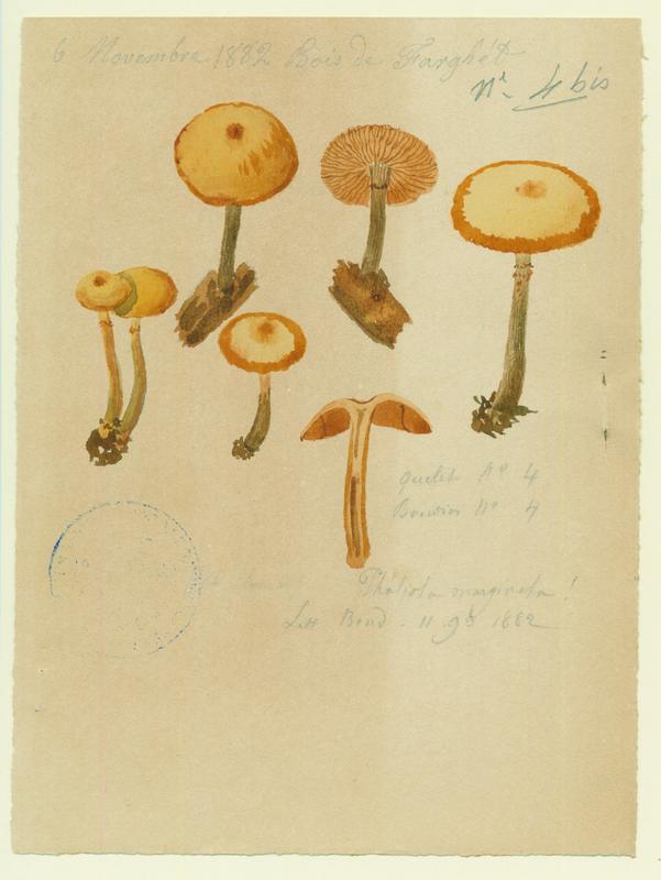 Galère marginée ; champignon