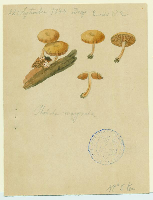 Galère marginée ; champignon_0