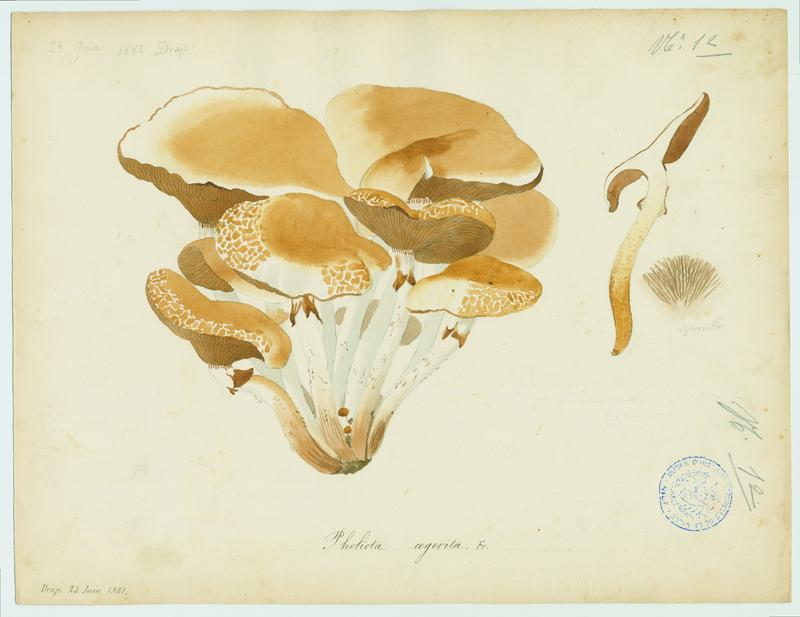 Pholiote du peuplier ; Pivoulade ; champignon_0