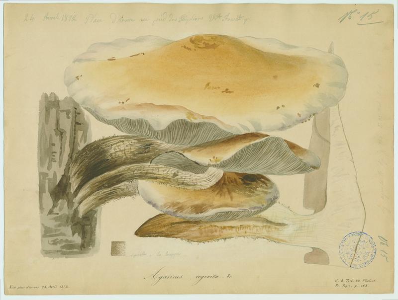 Pholiote du peuplier ; Pivoulade ; champignon