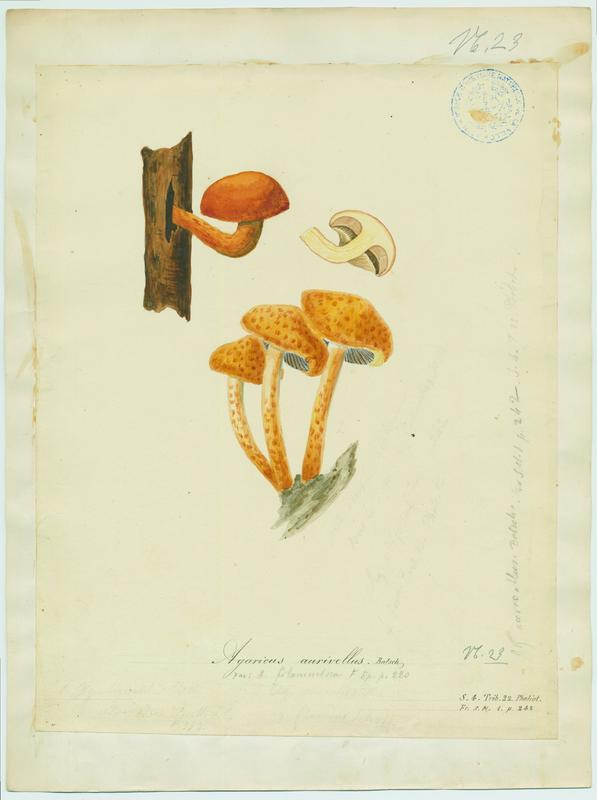 Pholiote adipeuse ; champignon_0