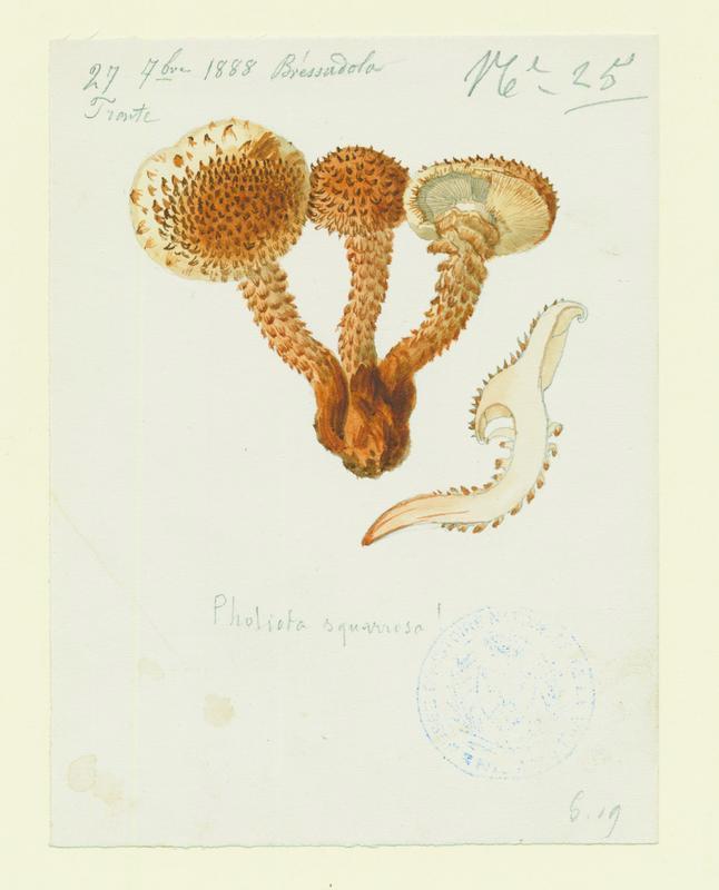 Pholiote écailleuse ; champignon_0