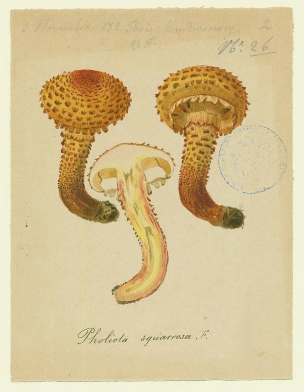 Pholiote écailleuse ; champignon