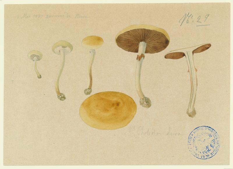 Pholiote ; champignon_0