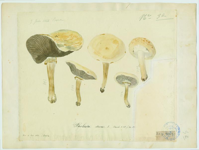 Pholiote ; champignon