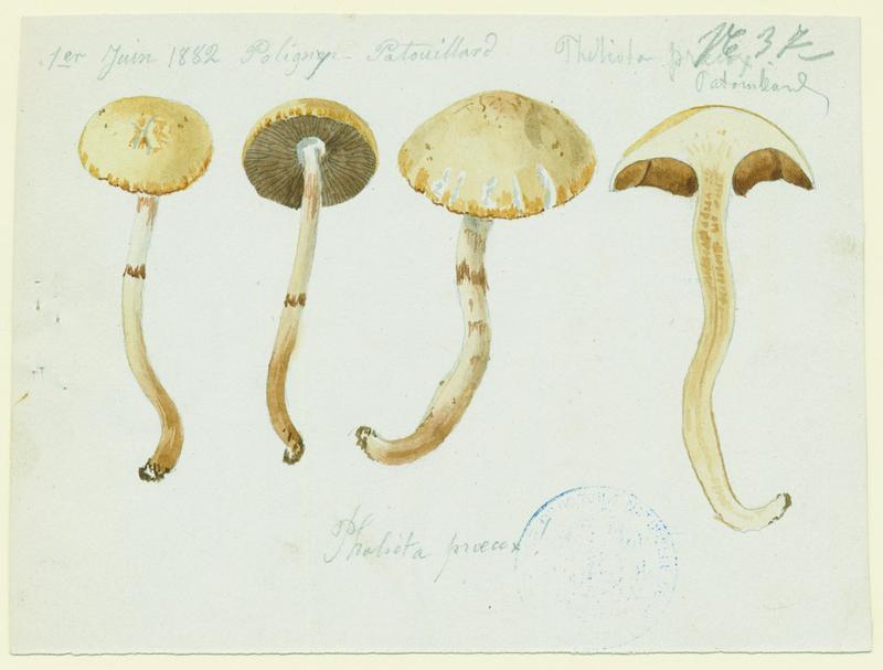 Agrocybe précoce ; champignon_0