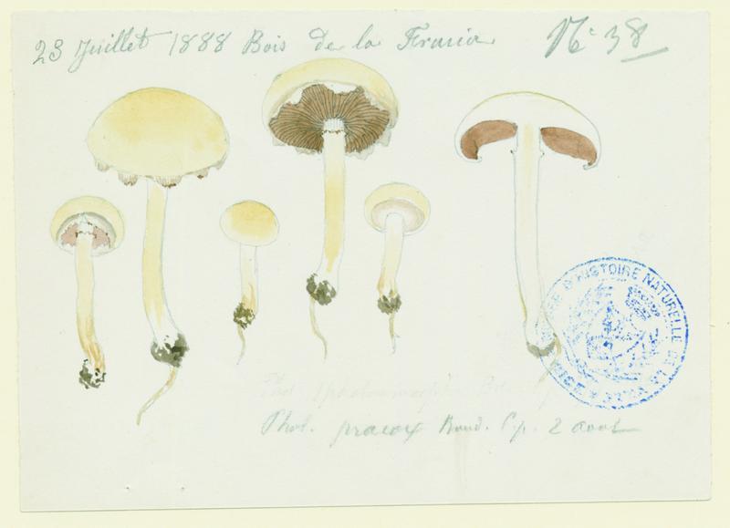 Agrocybe précoce ; champignon