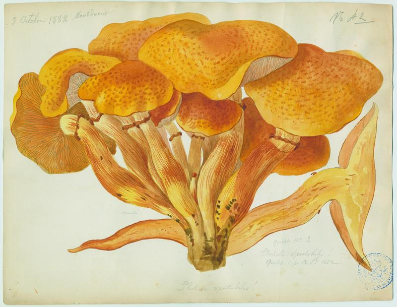 Pholiote remarquable ; Gymnopile remarquable ; champignon