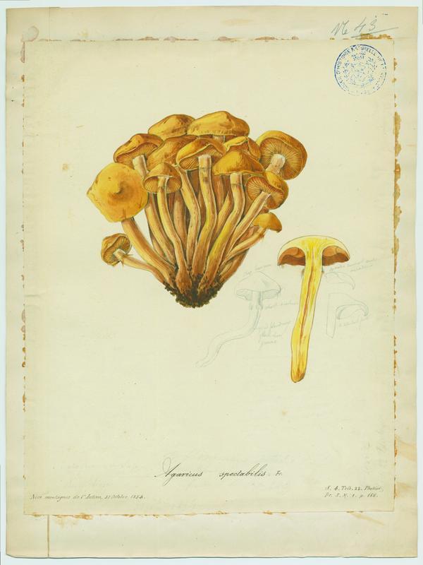 Pholiote dorée ; champignon_0
