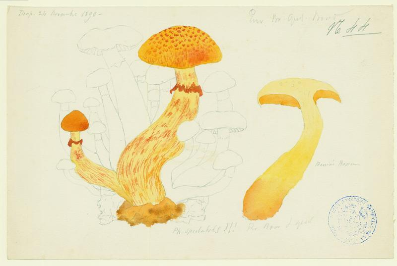 Pholiote remarquable ; Gymnopile remarquable ; champignon_0