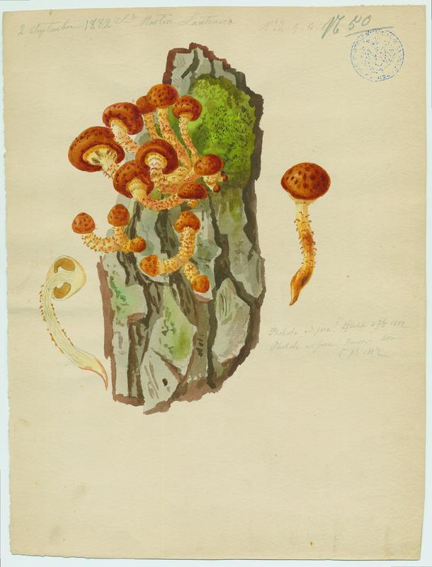 Pholiote grasse ; champignon_0