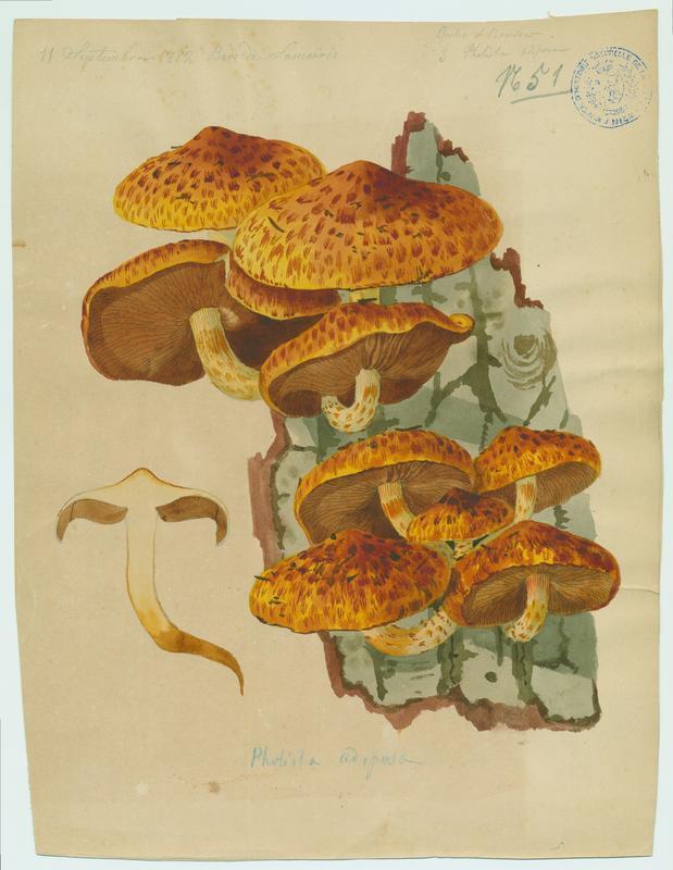Pholiote grasse ; champignon