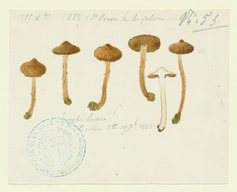 Inocybe à pied brunissant ; champignon_0