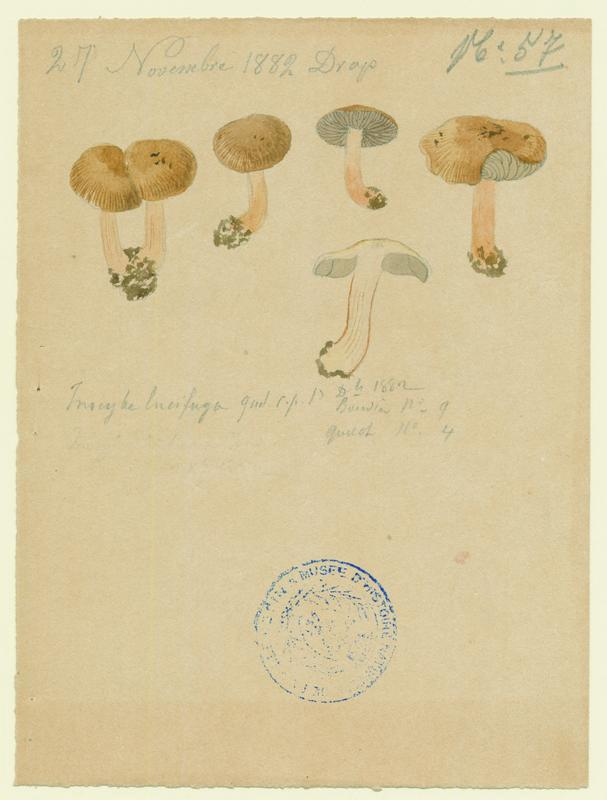 Inocybe ; champignon_0