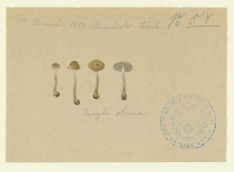 Inocybe obscur ; champignon