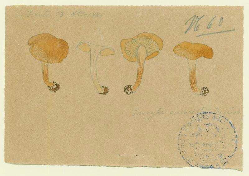 Inocybe de Heim ; champignon_0