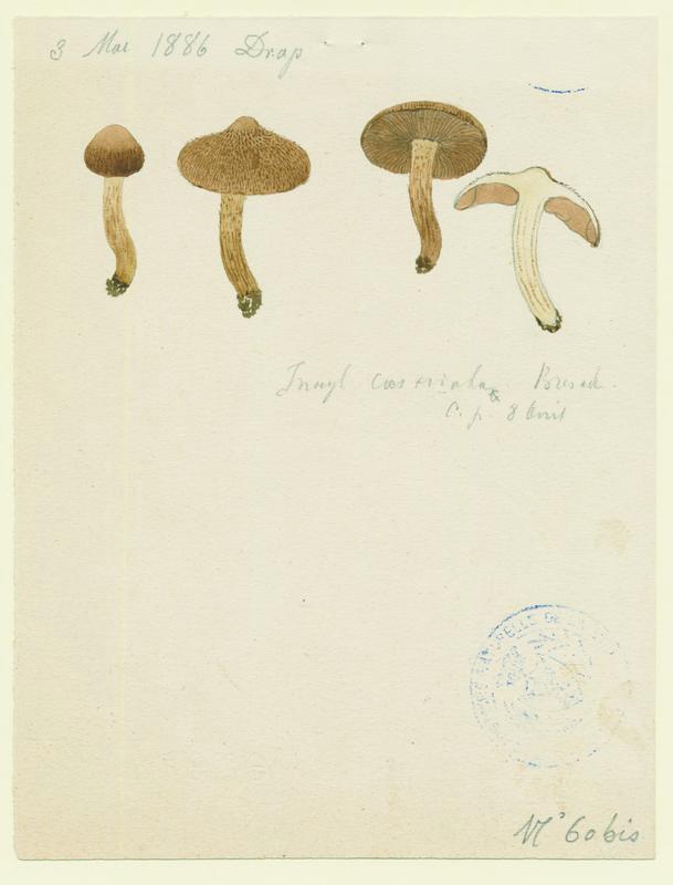 Inocybe de Heim ; champignon
