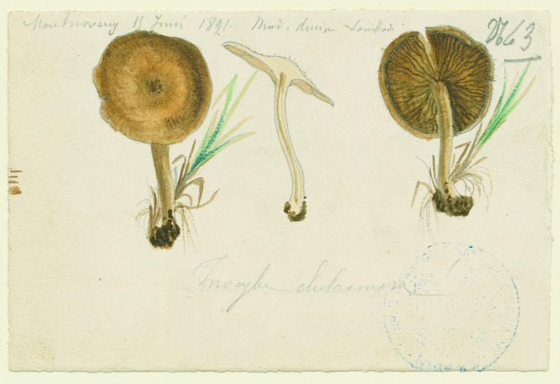 Inocybe doux amer ; champignon_0