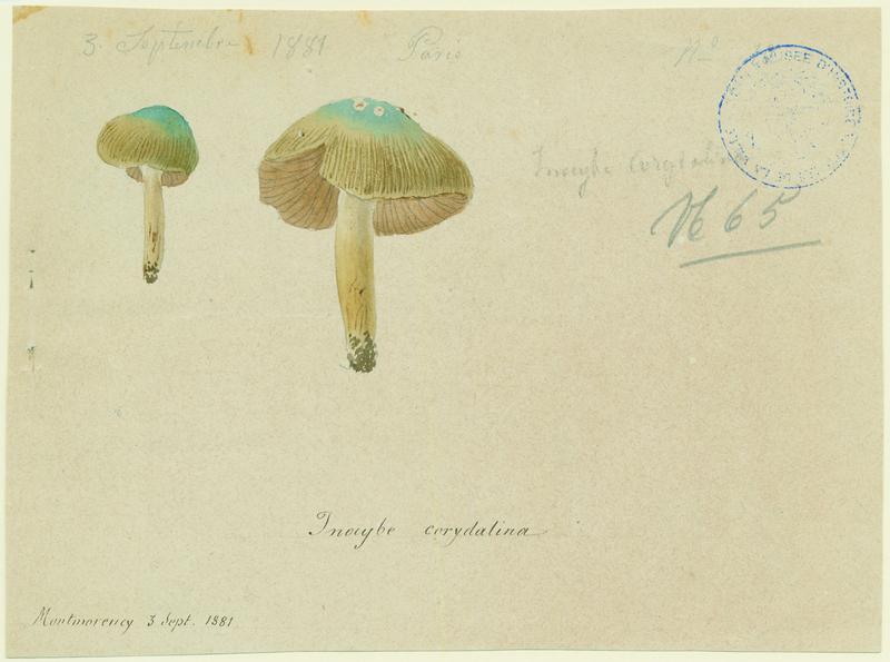 Inocybe à mamelon vert ; champignon_0