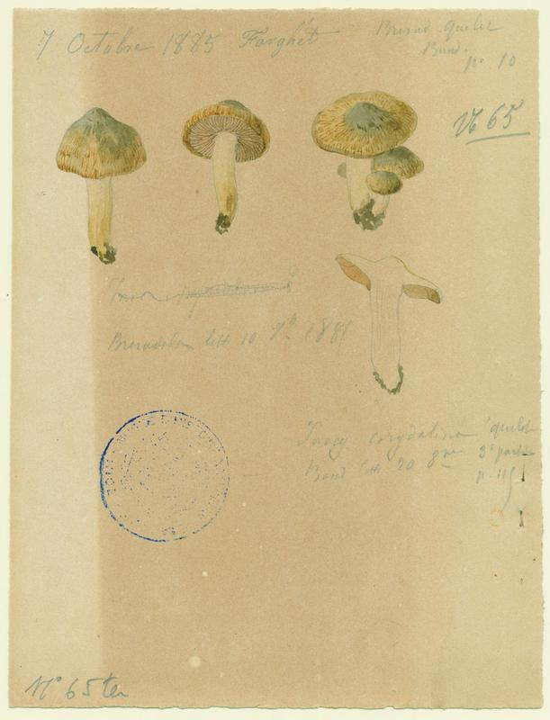Inocybe à mamelon vert ; champignon