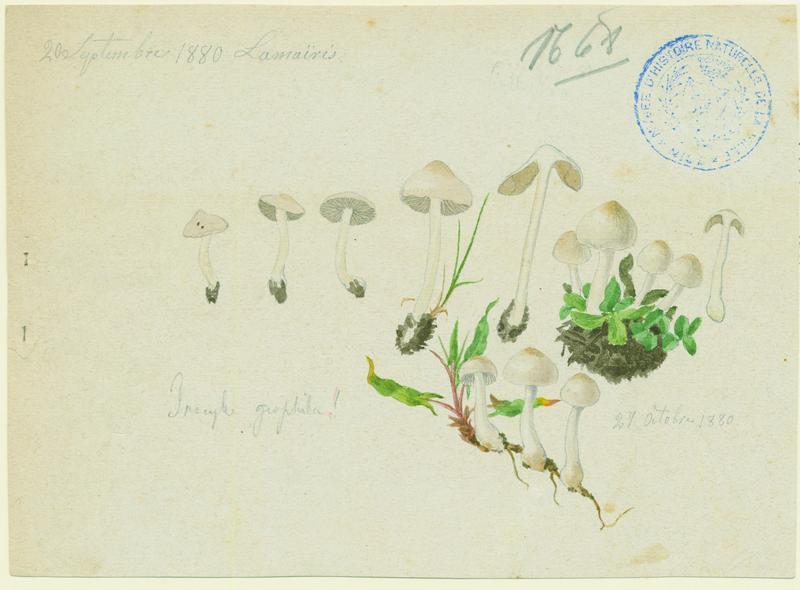 Inocybe à lames terreuses ; champignon