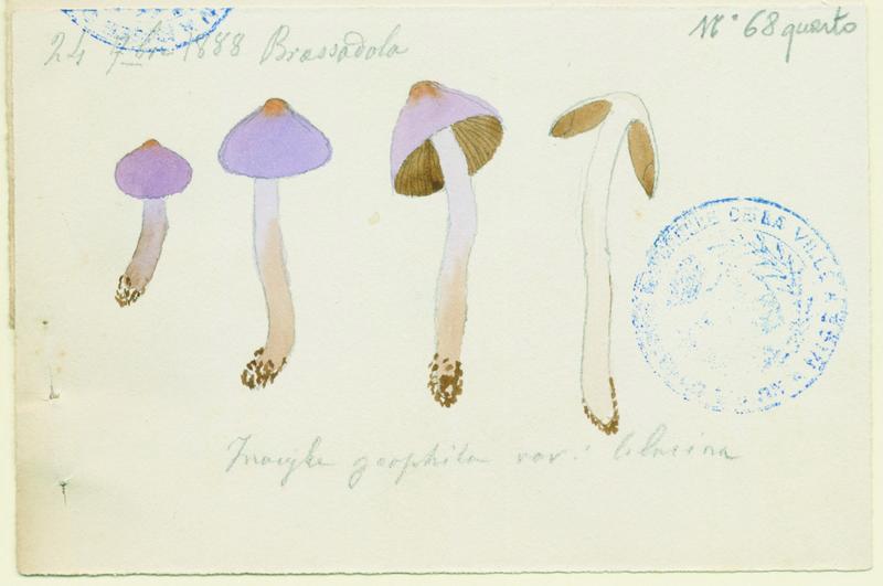 Inocybe à lames terreuses ; champignon_0