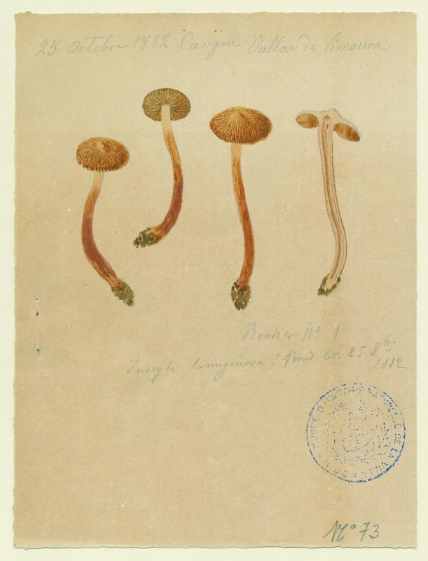Inocybe laineux ; champignon_0