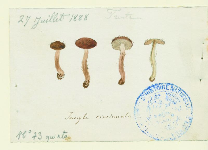 Inocybe brun violet ; champignon_0