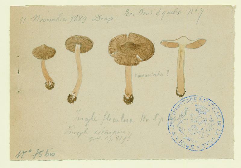 Inocybe flocculeux ; champignon_0