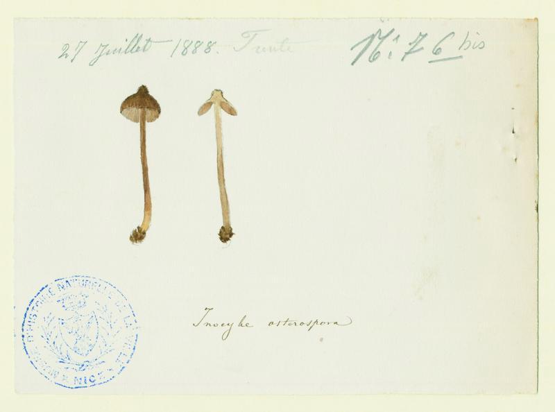Inocybe à spores étoilées ; champignon