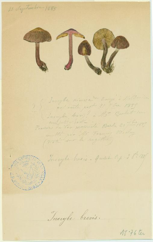 Inocybe ; champignon