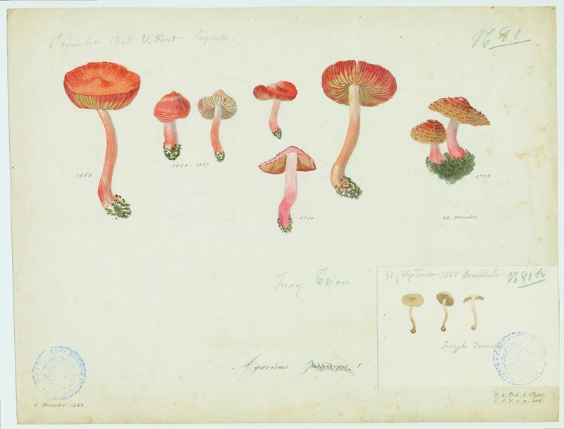 Hygrophore ponceau ; champignon_0