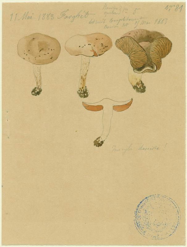 Inocybe négligé ; champignon