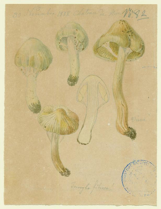 Inocybe fibreux ; champignon_0