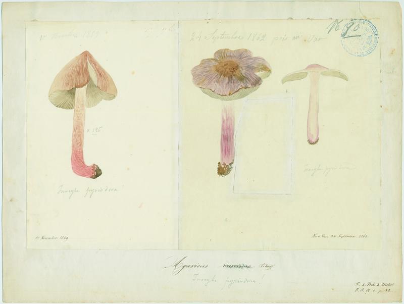 Tricholome couleur de vache ; champignon