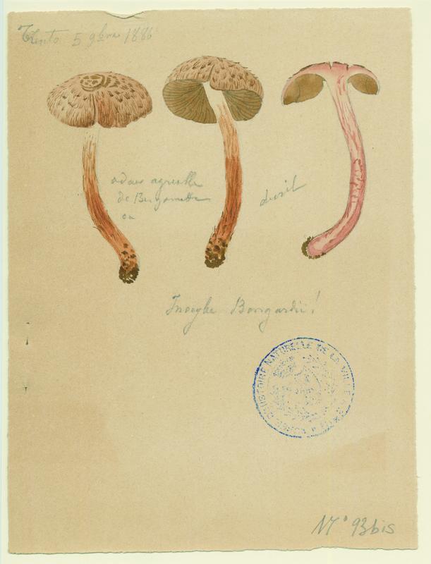 Inocybe à odeur de Benjoin ; champignon_0