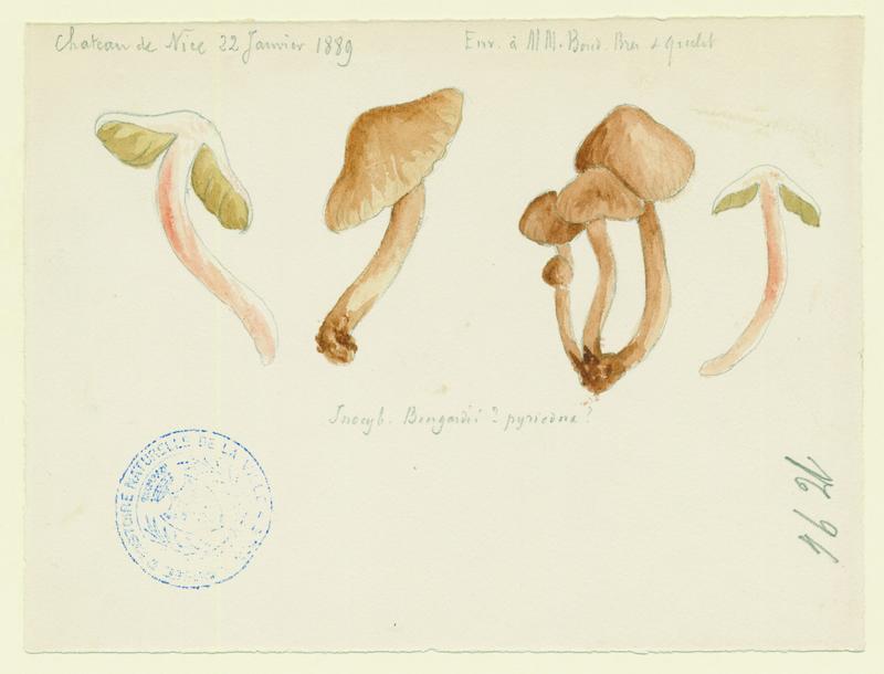 Inocybe à odeur de poire ; champignon_0